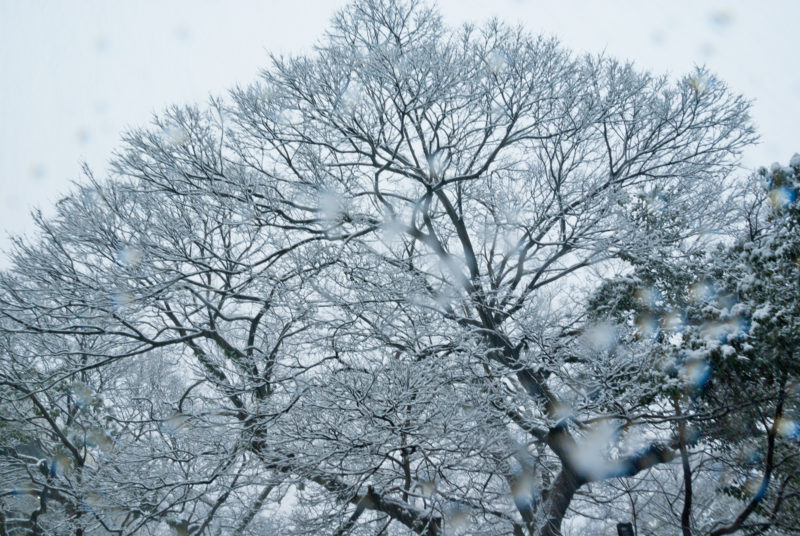 雪の日の木