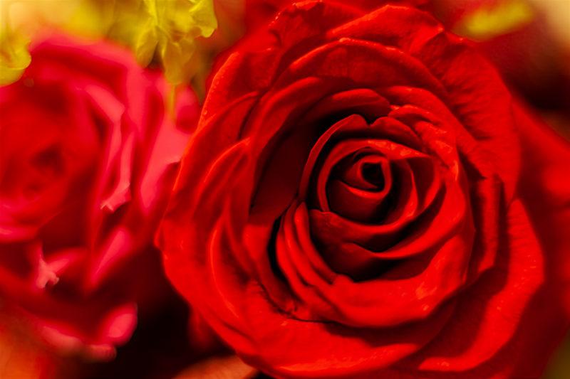 赤いバラのブリザードフラワの写真