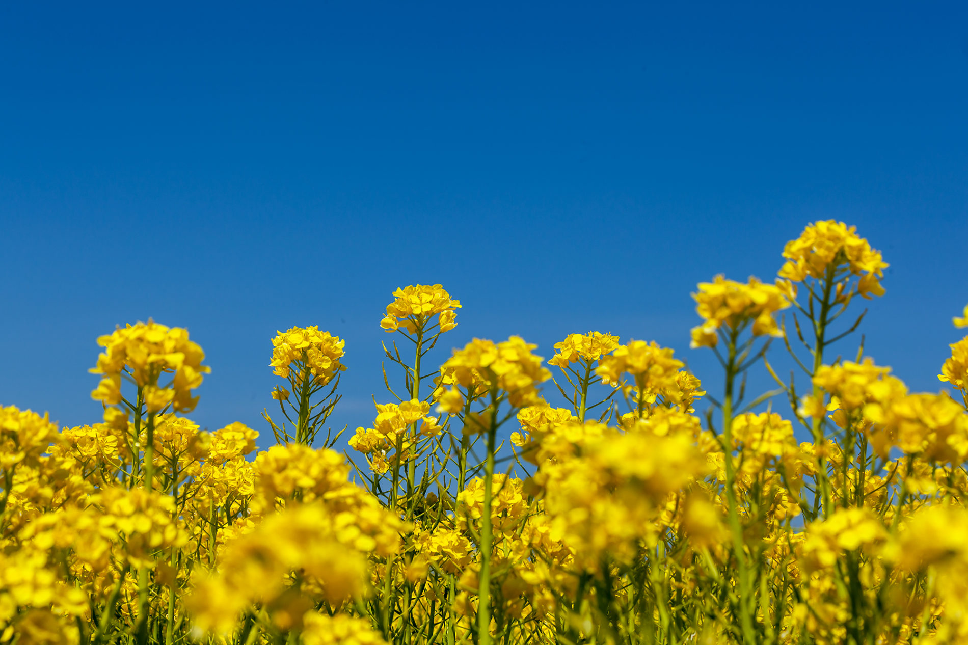 菜の花と青い空