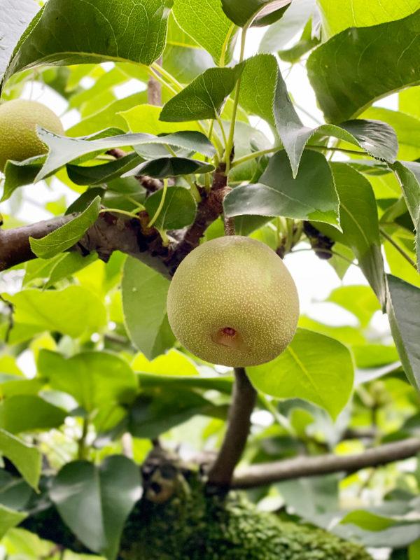 梨の写真素材