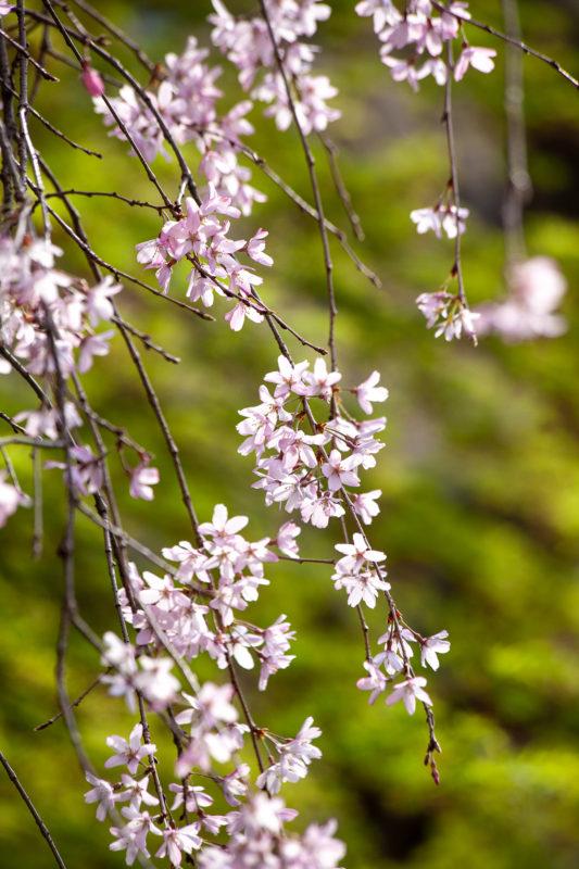 枝垂れ桜の写真素材
