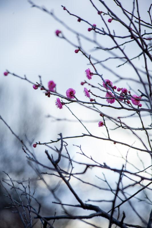 ピンクの梅の花の写真