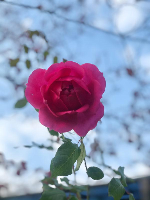 ピンクの薔薇の写真
