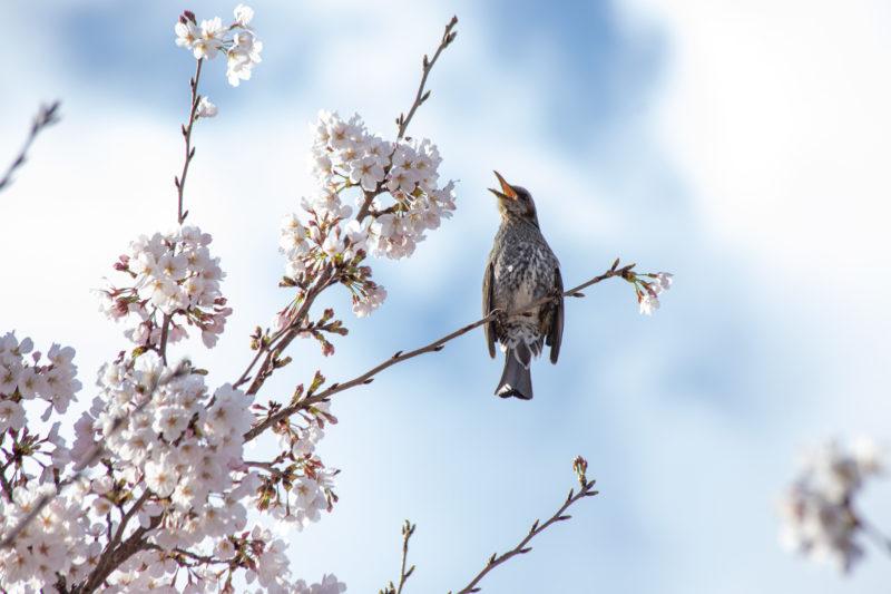 つぐみと桜