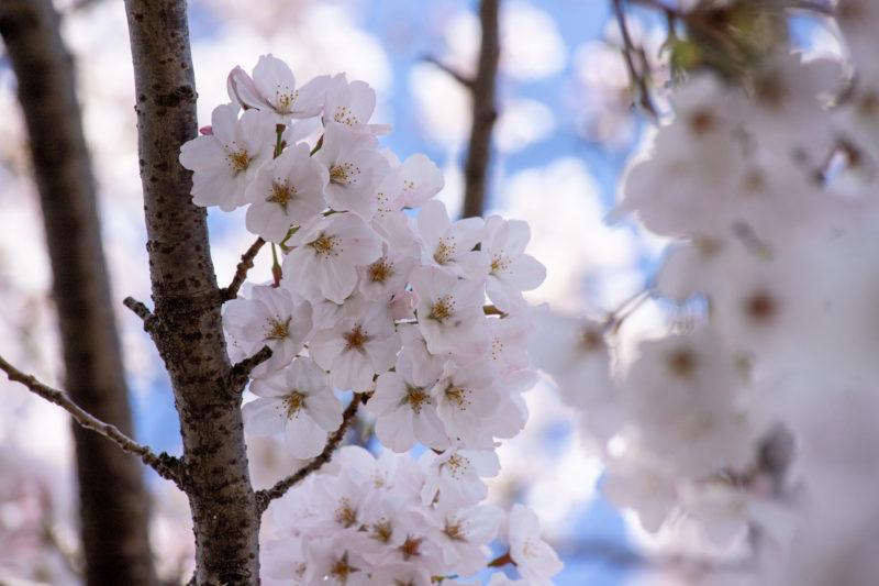 桜(サクラ,Cherry blossom,Japanese cherry,Sakura)の写真