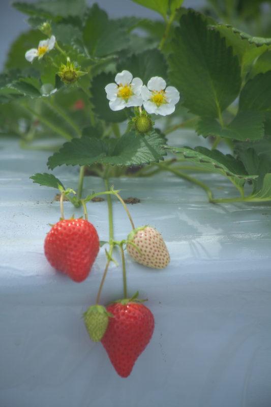 苺の花といちごの写真
