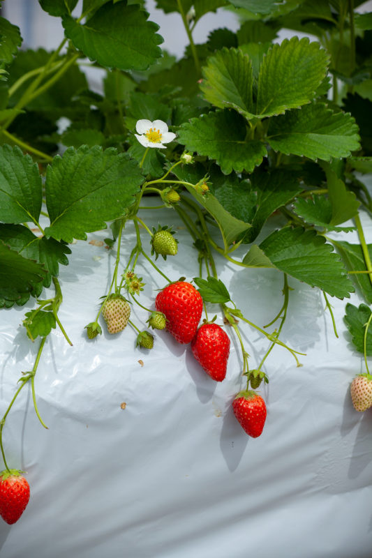 いちごの花、苺、ストロベリー、strawberryの写真素材