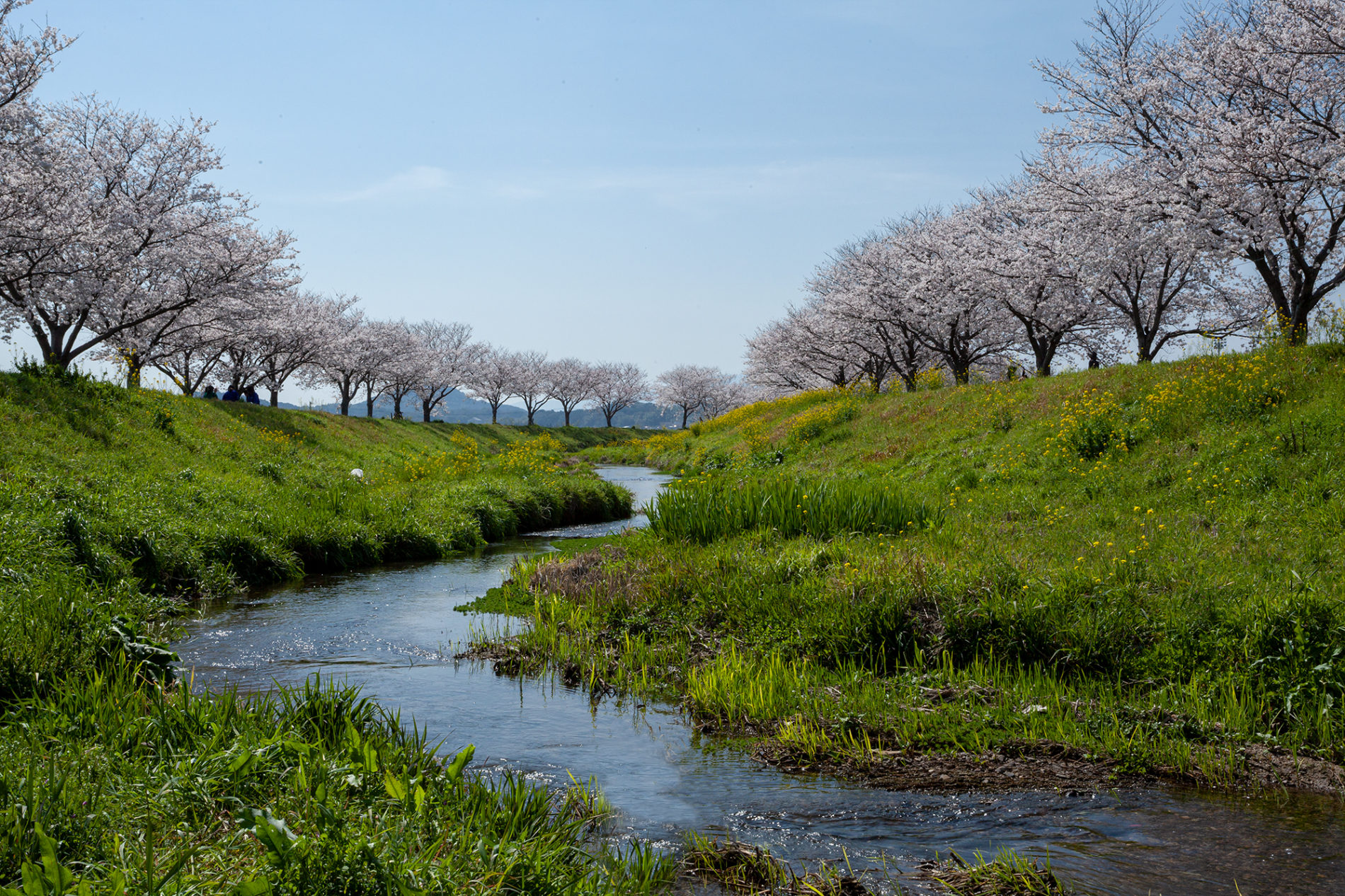 福岡県朝倉郡筑前町の草場川の桜並木