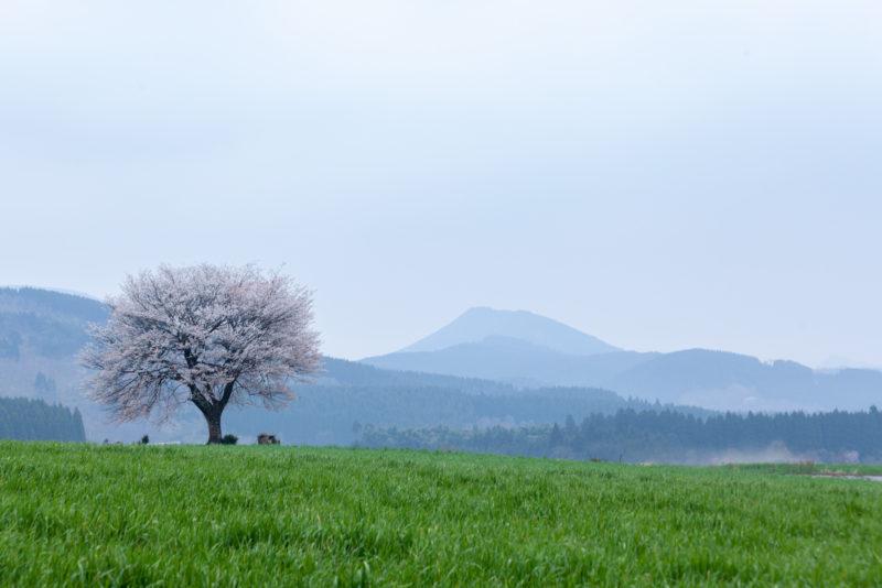 阿蘇一本桜