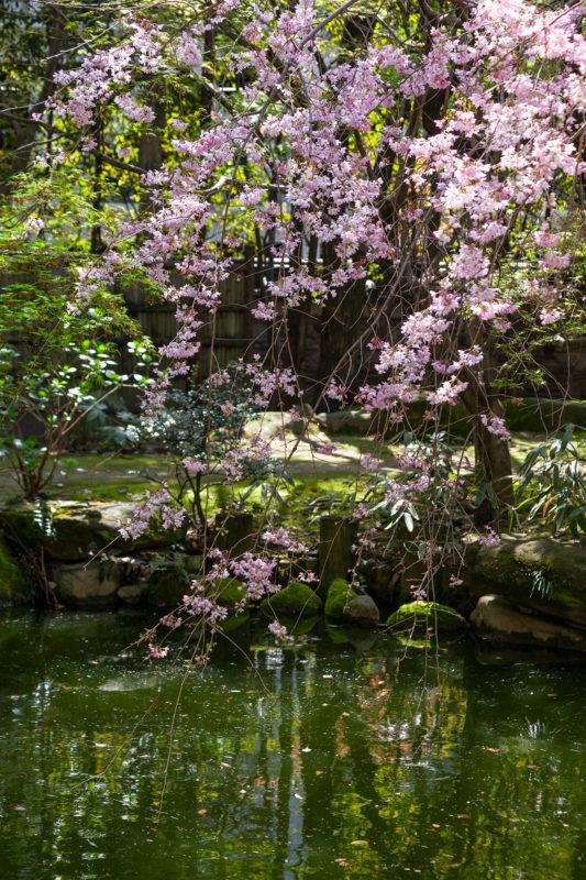 水辺の枝垂れ桜