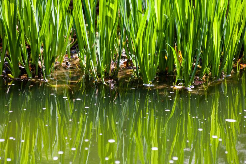 水辺の草(シンメトリー)の写真