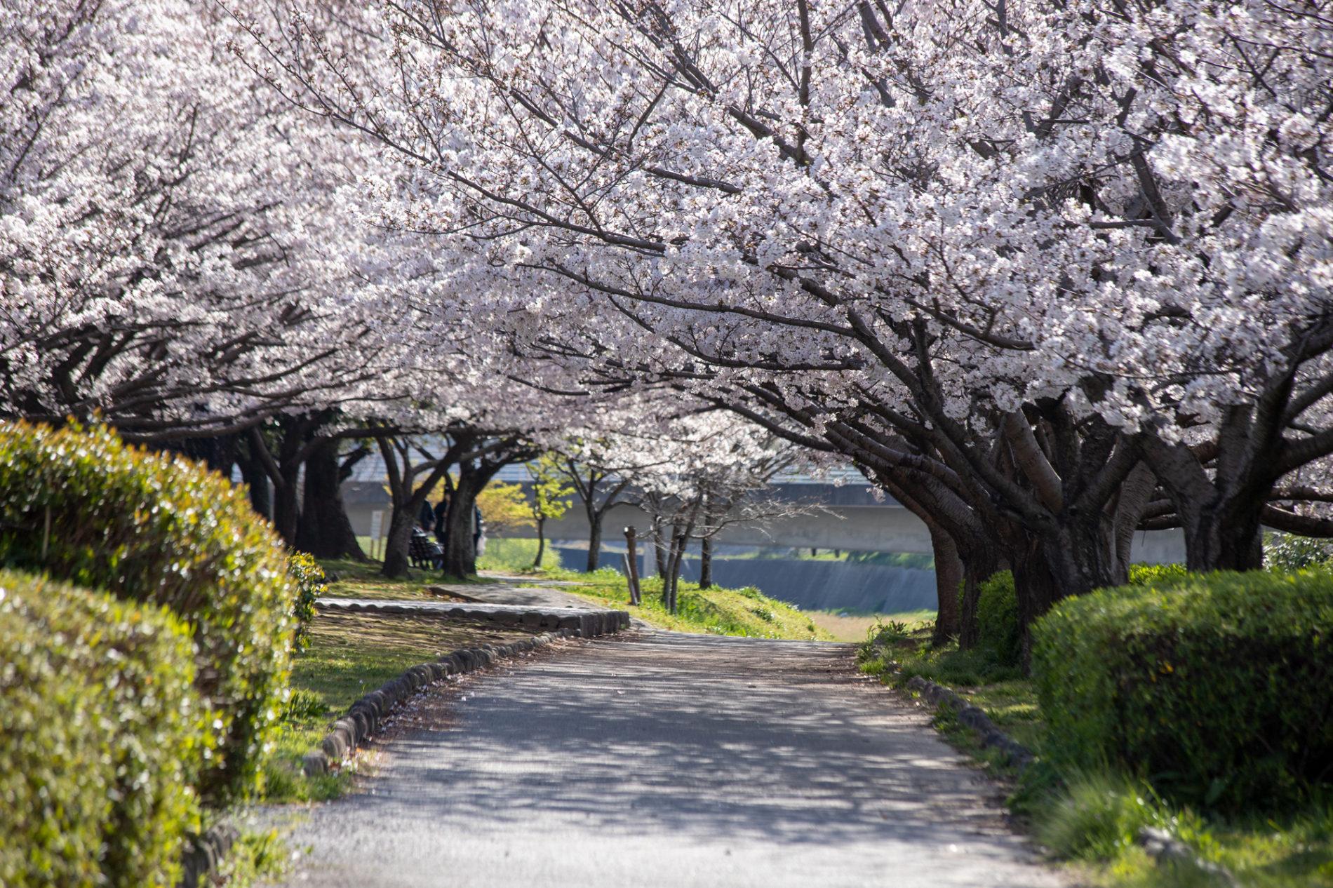 桜並木(桜のトンネル)の写真