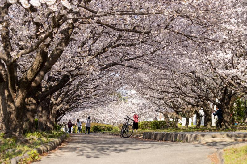 桜並木(桜のトンネル)の写真02