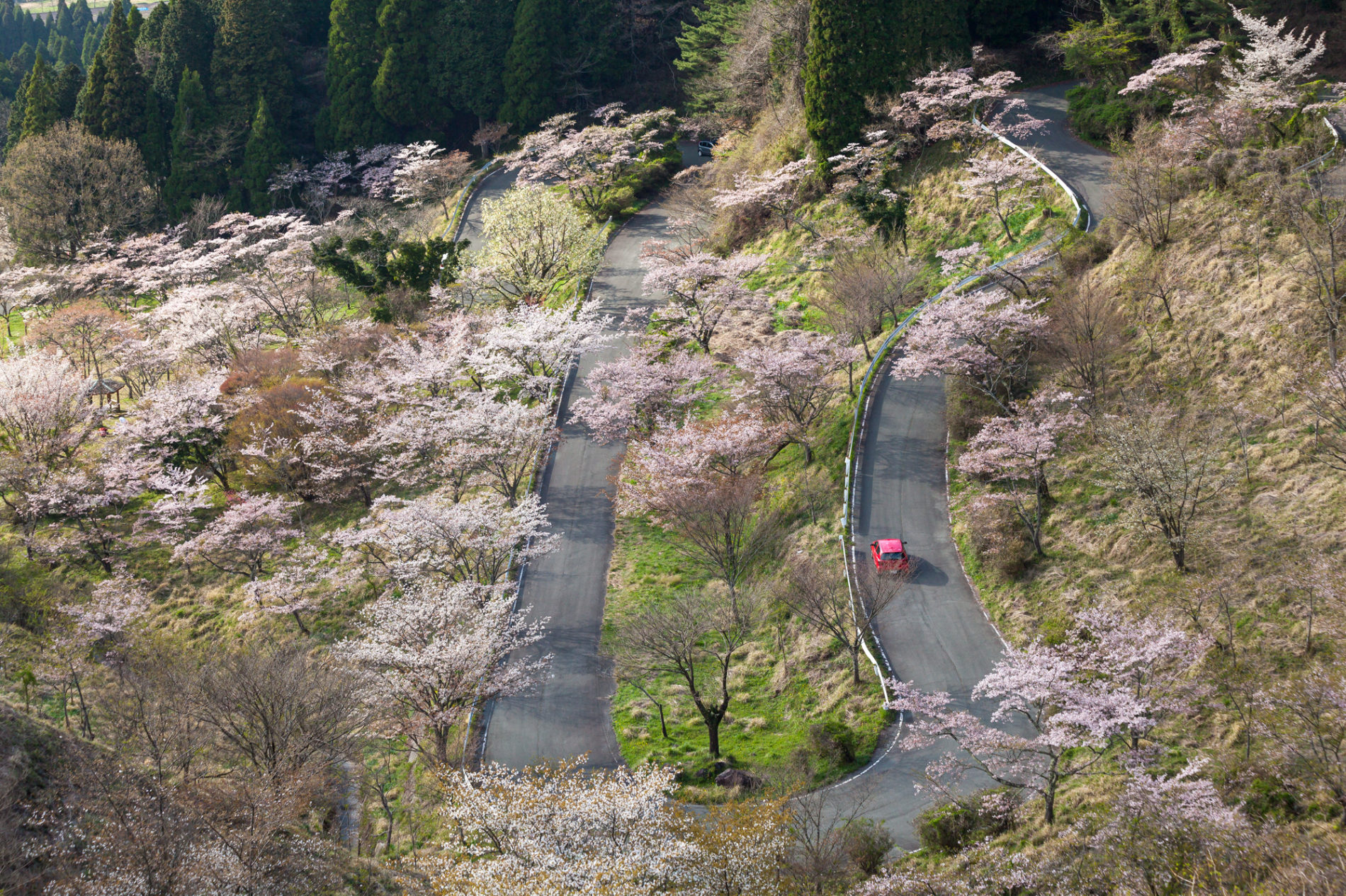 熊本県阿蘇郡高森町の高森峠千本桜