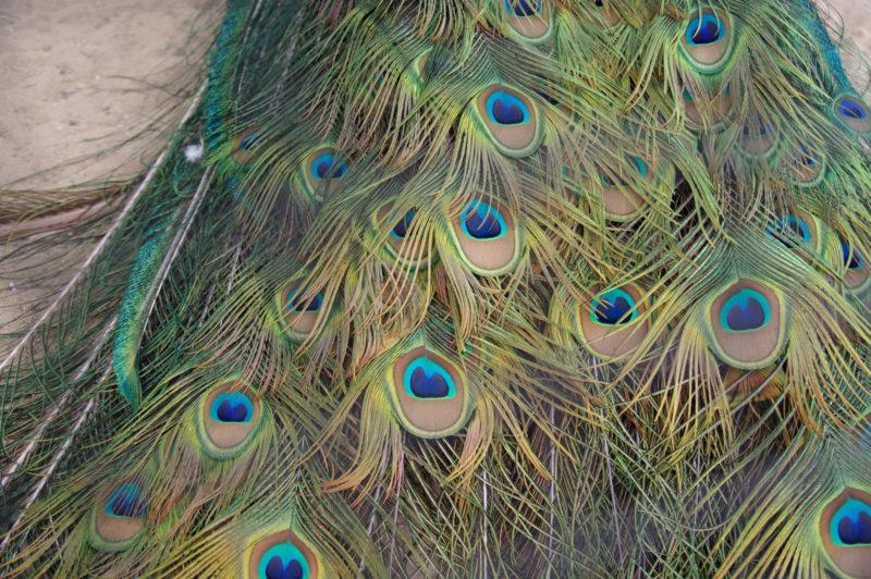 くじゃく(孔雀)の羽の写真素材