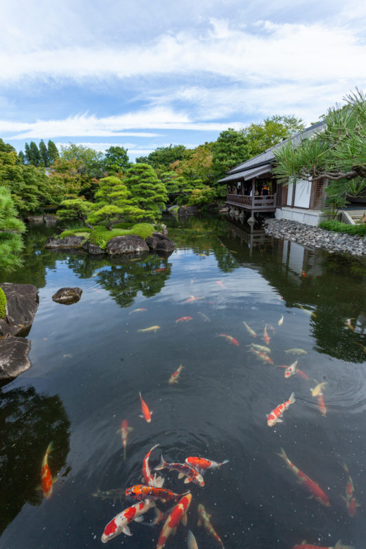 日本庭園_池(鯉)