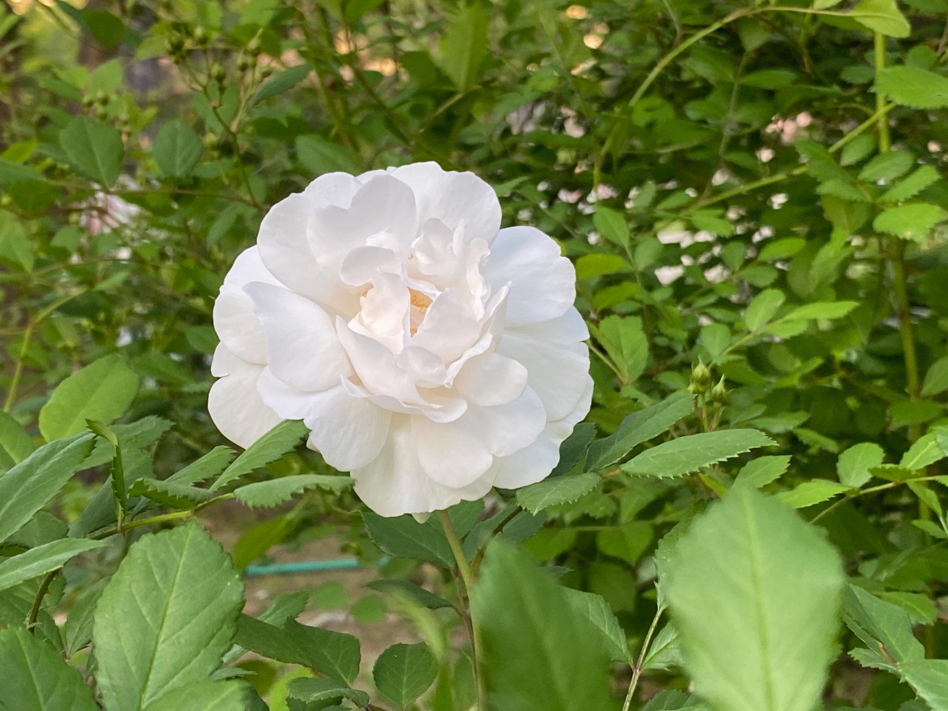 白い薔薇(バラ)