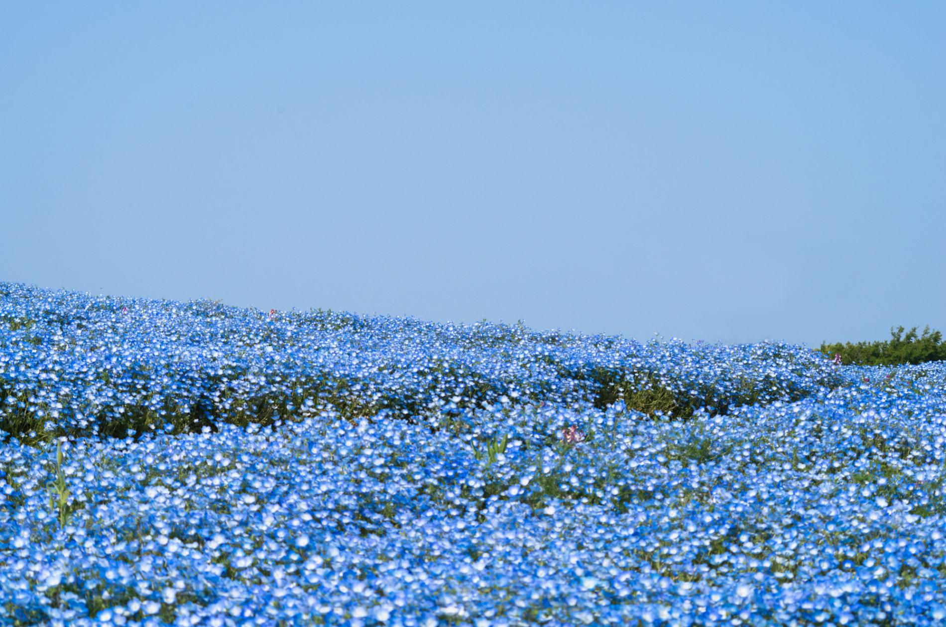 ネモフィラの丘と空 青の写真