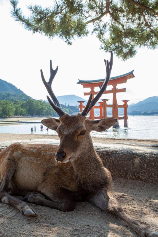 鹿と鳥居(広島宮島)