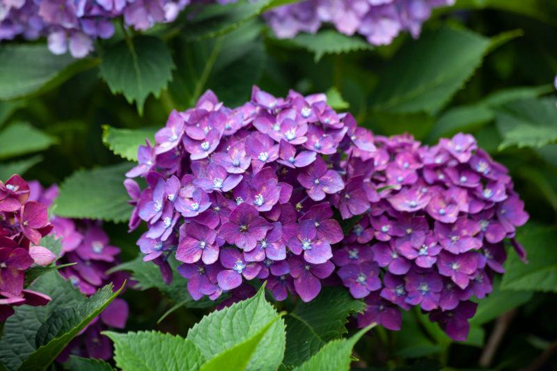 あじさい(紫陽花,Hydrangea)