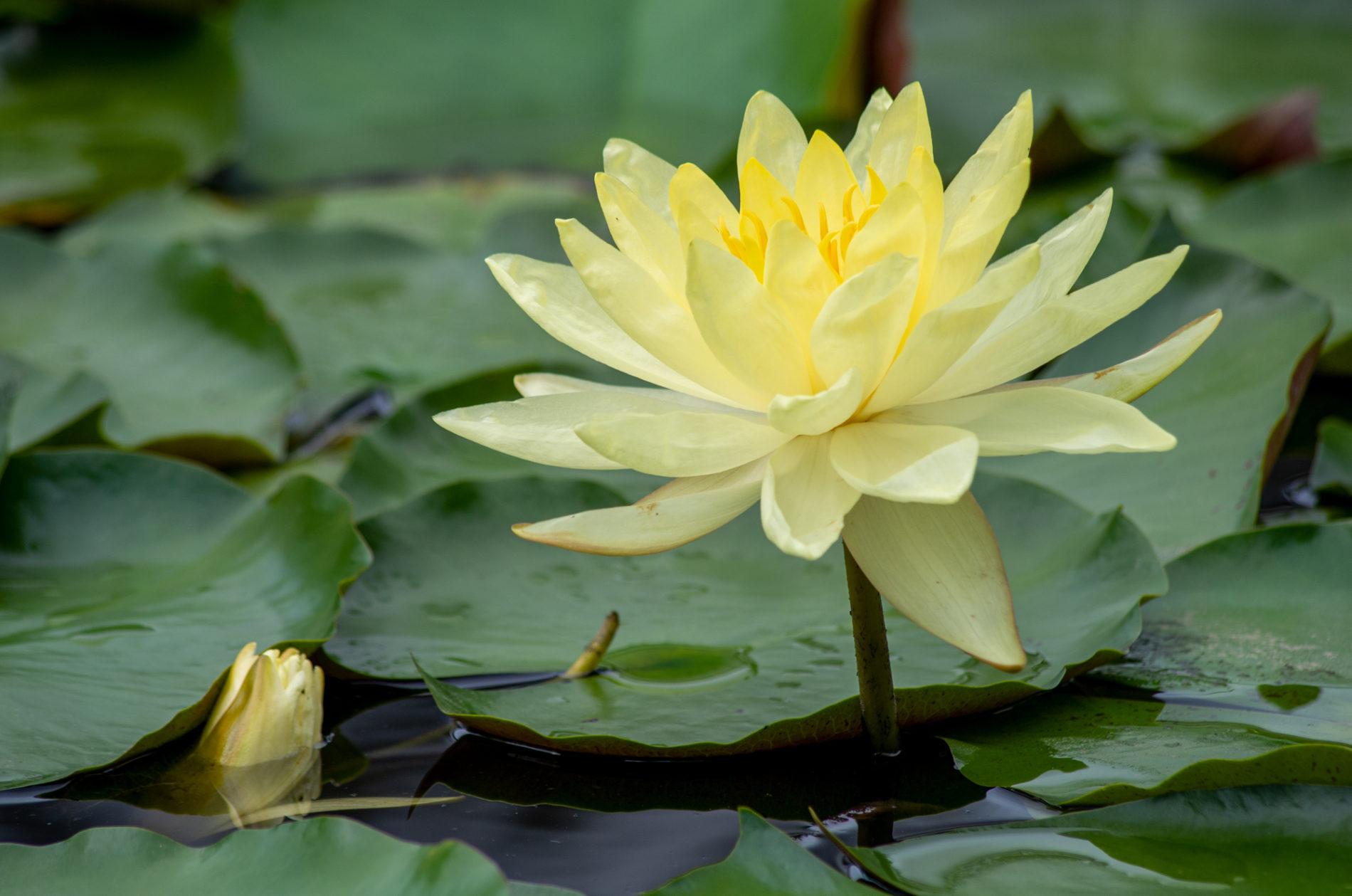 水辺の睡蓮の花