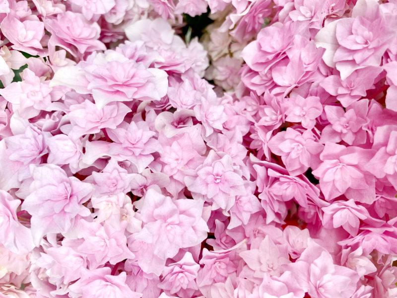 ピンクのガクアジサイの写真