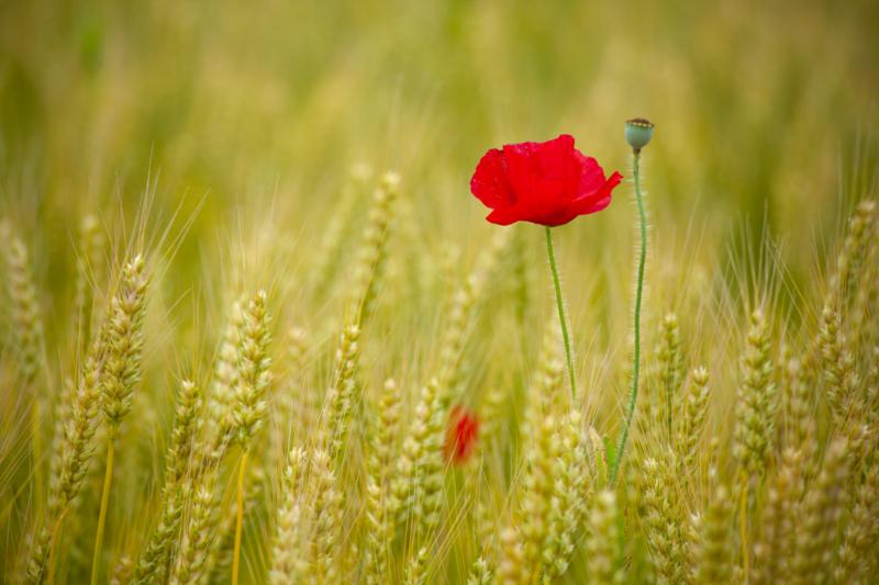 ポピー(ひなげし)と麦の写真
