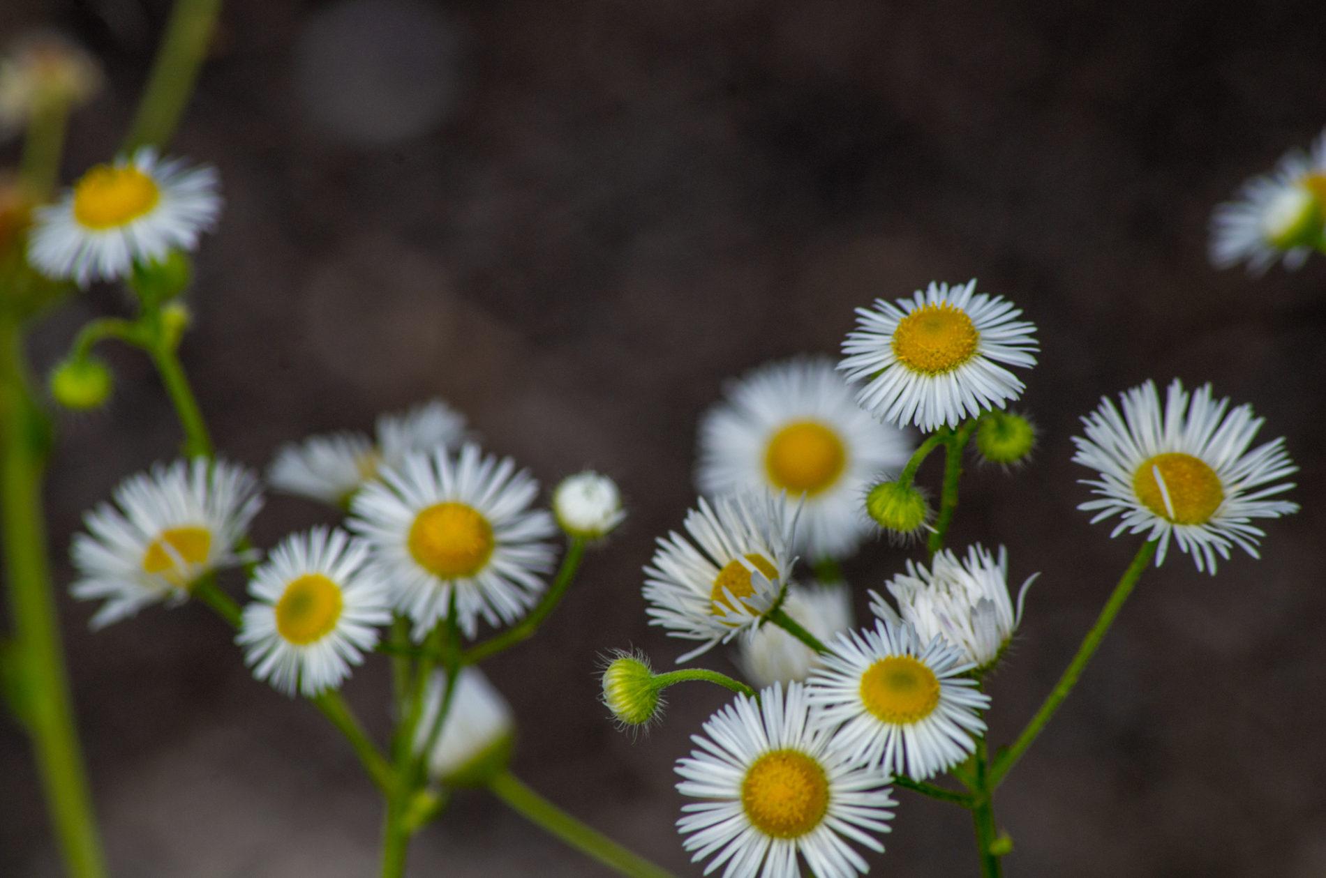 ヒメジオン(白い花)