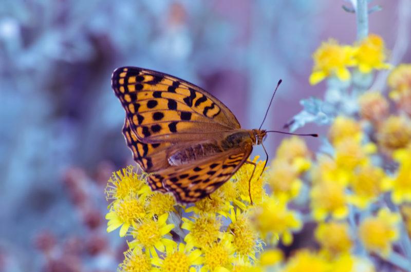 豹紋蝶(ヒョウモンチョウ)と黄色い花