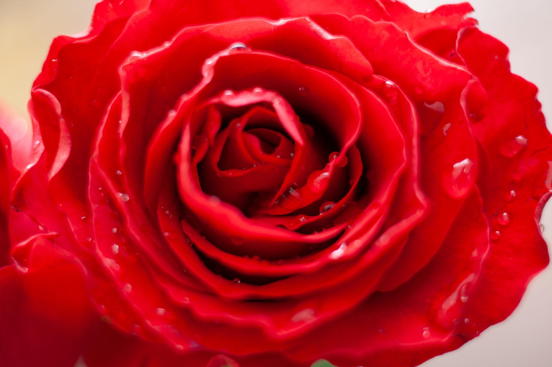 赤いバラと雫