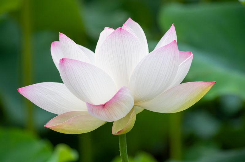 蓮の花(Lotus flower)の写真