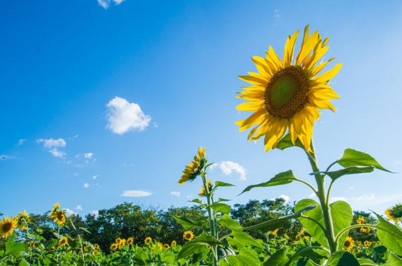 青空,ひまわり,ヒマワリ,向日葵