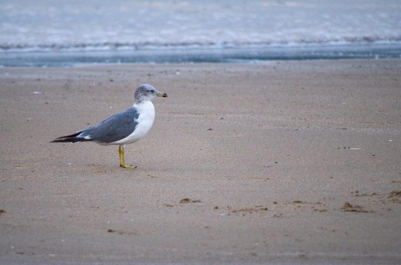 海辺の砂浜にたたずんで眺めている鳥