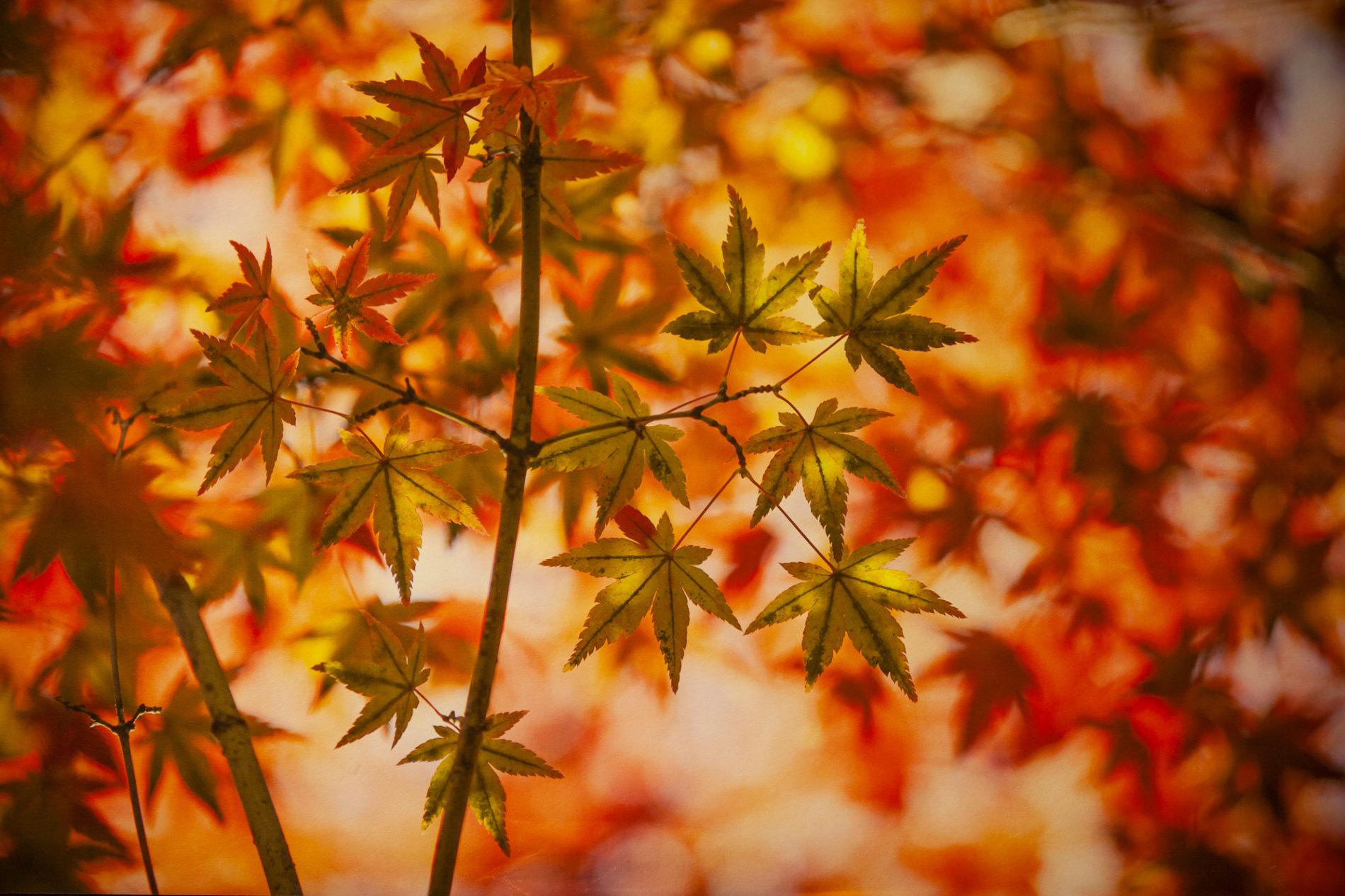 紅葉,楓(カエデ),秋のイメージ 赤