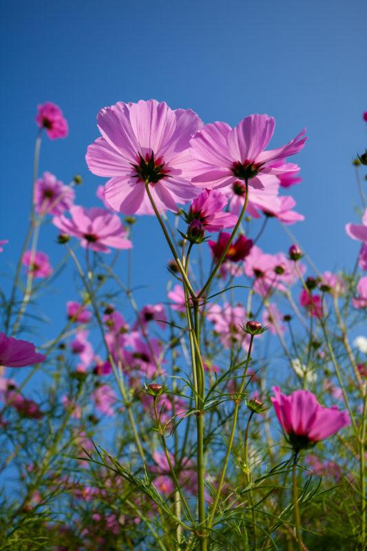 ピンクのコスモスと青い空