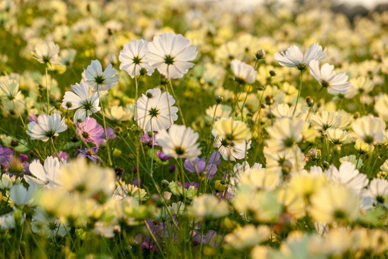 白・黄・ピンクのコスモス畑