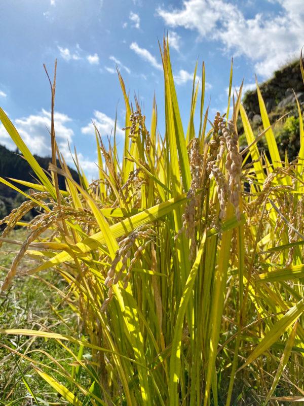 米・稲の写真