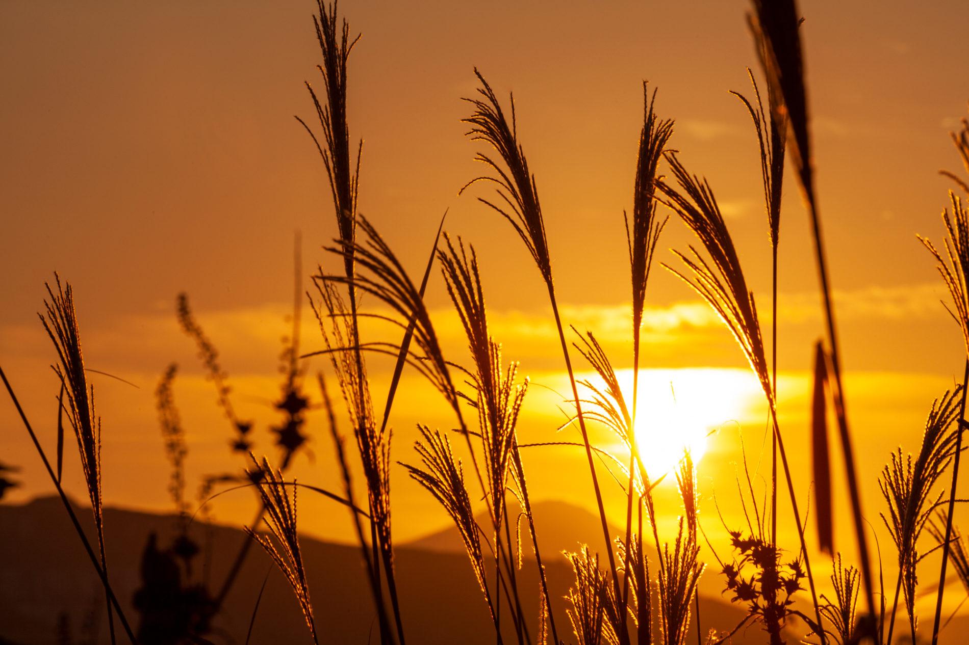 薄(ススキ,すすき)と夕陽、逆光の画像