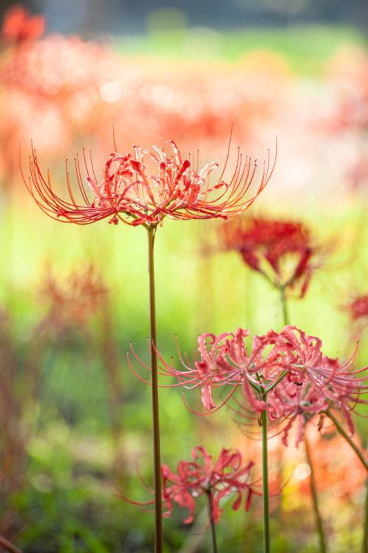 彼岸花(Lycoris radiata)
