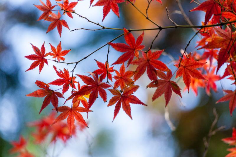 紅葉(楓・カエデ)秋