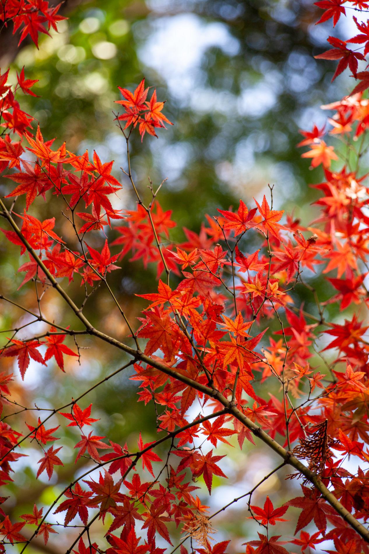 紅葉(楓・カエデ・秋)