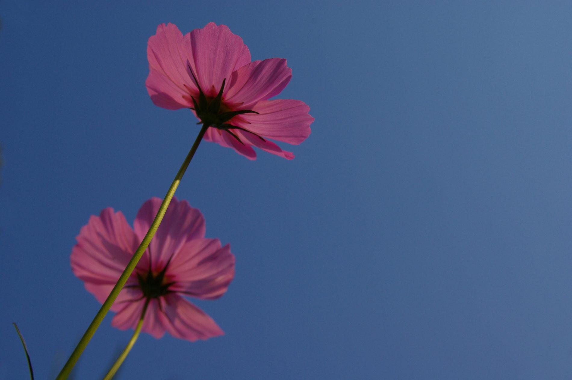 青空とピンクの秋桜(コスモス)