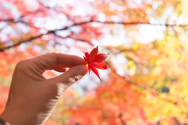 紅葉(楓)を持つ手