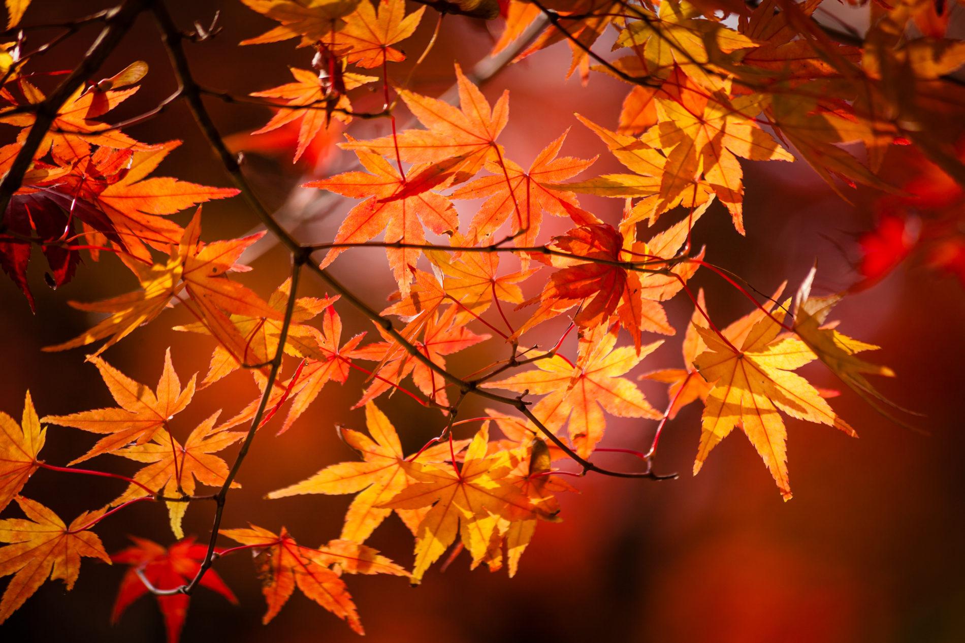 紅葉,楓,秋の写真