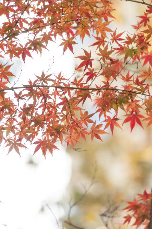紅葉(楓)秋の写真