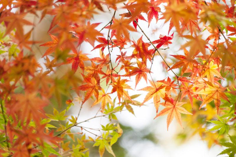 紅葉、もみじ、カエデ、楓の写真